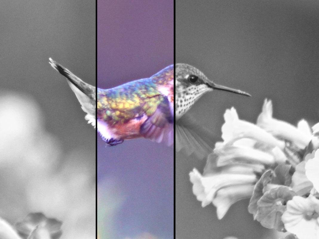 un Hummingbird che vola vicino a fiori